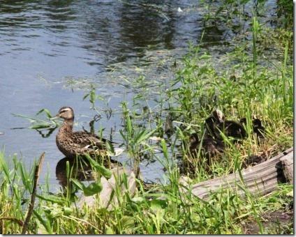 Утка с утятами в Баболовском парке